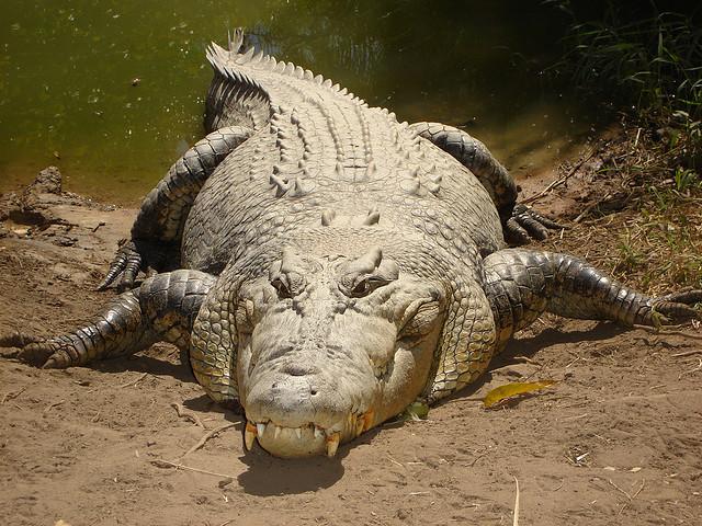 Big crocodile in Oz